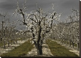 Pear Blossoms Stretched Canvas Print by Winston David Lorenz