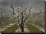 Pear Blossoms Stretched Canvas Print by David Winston