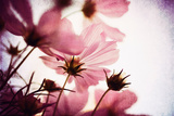 Delicate Cosmos Photographic Print by Susannah Tucker
