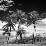 Coconut Trees, Santa Maria Beach, Havana, Cuba Photographic Print by Paul Cooklin