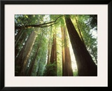 Redwood Forest Framed Photographic Print by Jim Zuckerman