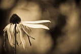 Dying Black Eyed Susan Photographic Print by Sharon Wish