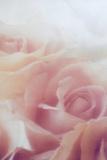 Sleeping Roses Fotografie-Druck von Mia Friedrich
