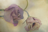 Lisianthus I Photographic Print by Mia Friedrich