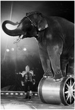 Circus Elephant Archival Photo Poster Posters