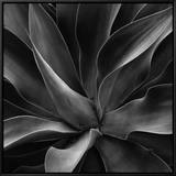 Century Plant Framed Canvas Print by Brett Weston