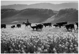 Cattle Drive Archival Photo Poster Posters