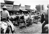 Cattle Drive Archival Photo Poster Prints