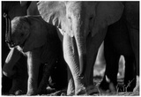Elephant Family Archival Photo Poster Prints