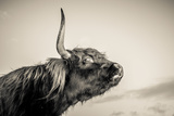 Highland Cattle 2 Photographic Print by Mark Gemmell