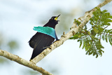 A Male Superb Bird of Paradise Calling Photographic Print by Tim Laman