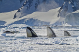 Three Killer Whales Hunt a Leopard Seal on Pack Ice Photographic Print by Ralph Lee Hopkins
