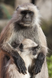 Gray Langur (Simia Entellus) Monkey, or Hanuman Langurs Photographic Print by Jonathan Irish