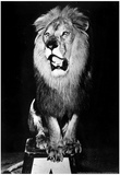 Circus Lion Archival Photo Poster Photo