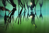 A diver inspects the arched roots of mangroves. Fotografie-Druck von Brian Skerry