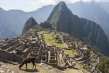 A Llama Grazing on the Grounds of Machu Picchu, an Ancient Inca City Fotografisk tryk af Jonathan Irish