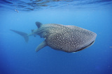 A Whale Shark Swims Off the Yucatan Peninsula Photographic Print by Brian J. Skerry
