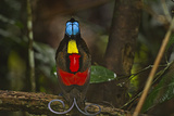 A Male Wilson's Bird of Paradise at His Display Court Photographic Print by Tim Laman