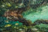 Brian J. Skerry - Schoolmaster Snappers Swim in the Protection of Mangroves Fotografická reprodukce