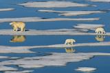 A Polar Bear and Her Cubs Walk Along Sparse Pack Ice Photographic Print by Ralph Lee Hopkins