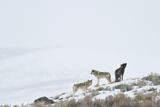 Three Gray Wolves on a Snowy Hill Fotografisk trykk av Ralph Lee Hopkins