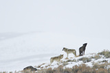 Three Gray Wolves on a Snowy Hill Photographic Print by Ralph Lee Hopkins