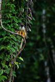 A Squirrel Monkey on a Vine Photographic Print by Ben Horton