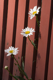 Daisies Peek Through a Red Fence in a Backyard in Durango Photographic Print by Scott S. Warren