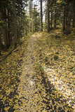 Aspen Trees and Trail Tread in Autumn Along the Deep Creek Trail Photographic Print by Scott S. Warren