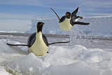 An Airborne Emperor Penguin at Edge of Ice Floe Photographic Print by Paul Nicklen