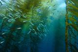 Marine Life in a Kelp Forest on Cortes Bank Fotografisk tryk af Brian J. Skerry