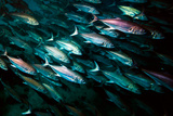 A School of Mackerel Photographic Print by Ben Horton