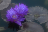 A Violet Water Lily Flower Against Gray-Green Lily Pads and Water Reproduction photographique par Paul Damien