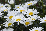 Daisies in a Backyard in Durango, Colorado Photographic Print by Scott S. Warren