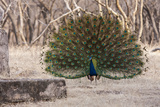 Portrait of a Male Indian Peacock, Pavo Cristatus, Displaying Photographie par Jonathan Irish
