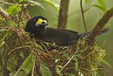 A Female Long Tailed Paradigalla on Her Nest Photographic Print by Tim Laman