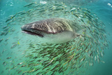 A Whale Shark with Small Fry Off the Yucatan Peninsula Photographic Print by Brian J. Skerry