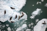 Seals Basking on Ice Floes in Icy Bay Photographic Print by Michael Christopher Brown