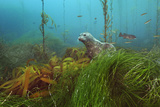 A harbor seal peers from a kelp forest on Cortes Bank. Fotografisk tryk af Brian Skerry