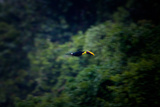 A Flying Chestnut Mandibled Toucan Photographic Print by Ben Horton