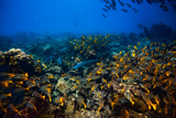A Tiger Shark Observes its Prey, the White Tip Reef Shark, from Afar Photographic Print by Ben Horton