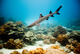 A Juvenile White Tip Reef Shark Photographic Print by Ben Horton