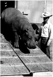 Circus Hippo Archival Photo Poster Prints