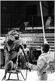 Circus Lion Stunt Archival Photo Poster Print