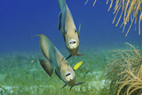 A Pair of Gray Angel Fish in a Sea Grass Bed Off Lighthouse Reef Fotografisk tryk af Brian J. Skerry