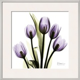 Tulip in Purple Prints by Albert Koetsier