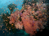 Fiji Reef Scene with Gorgonians, Soft Corals, and Schools of Anthias. Photographic Print by Andy Lerner