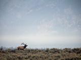 Large Bull Elk Bugling During the Rut in Grand Teton National Park Fotografisk tryk af Andrew R. Slaton