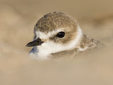 A Snowy Plover (Charadrius Alexandrinus) Rests in the Sand on a Southern California Beach. Photographic Print by Neil Losin