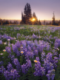 Sunrise in Mt. Rainier National Park During Wildflower Season Photographic Print by Miles Morgan